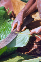 Splitting the stem so that the leaf can hang like a tile from the frame of a leafhut