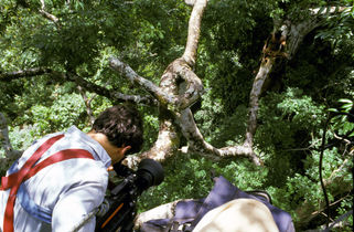 Filming the collection of canopy honey from a stingless bees' nest