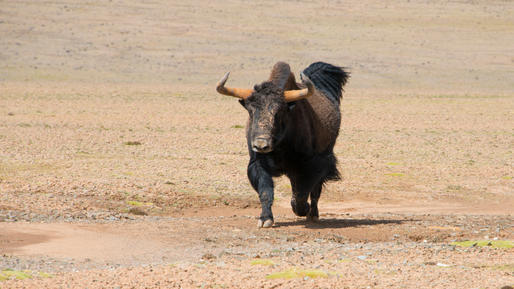 Charging Wild Yak in Kekexili