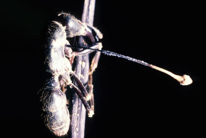 A terrestrial African Stink Ant, infected by a cordyceps fungus that has forced it to climb for the first time before dying. Thus enabling the fungal spores to rain down on other ants