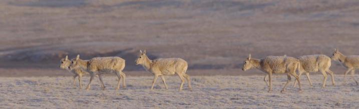 Chiru, female Tibetan Antelope migrating to Kekexili to calve