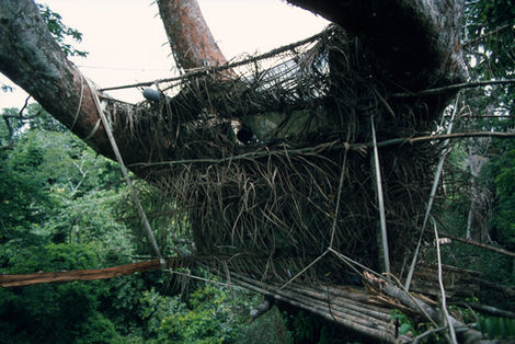 The platforms have to hang from the branches to avoid splitting in high winds
