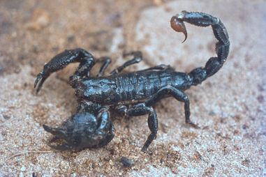 The Emperor Scorpion, common amongst Korup's leaf litter, one of the largest scorpions in the world