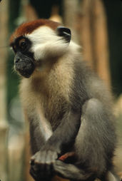 Red-capped Mangabey, a young male