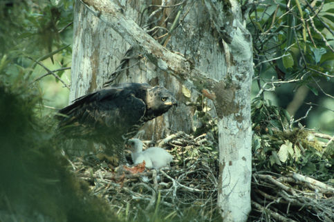 The magnificent Crowned Hawk Eagle at the nest with a half grown youngster that will spend a year at the nest. They are the major natural predator of monkeys