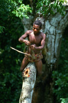 Mewunga collecting honey from a stingless bees nest