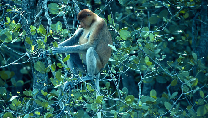 Siarau: The Tidal Forest, Korup, Fragile Earth, Proboscis monkey