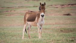 Wild Donkeys roam the Plateau
