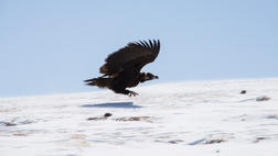 Monk Vulture on the Plateau