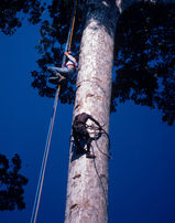Filming Mewunga's amazing climb towards the honeybees' nest