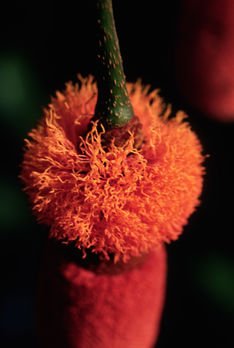 The amazing inflorescence of Parkia bicolor, pollinated by bats and small mammals