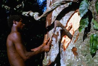 Babu chopping ngele bark for medecine