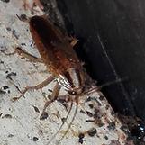 Cucarachas, germanica, oriental y americana