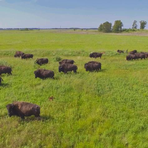 Bison at Kankakee Sands Nature Reserve