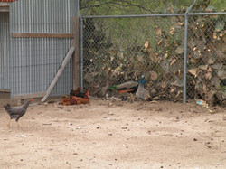 Chickens & Peakcock