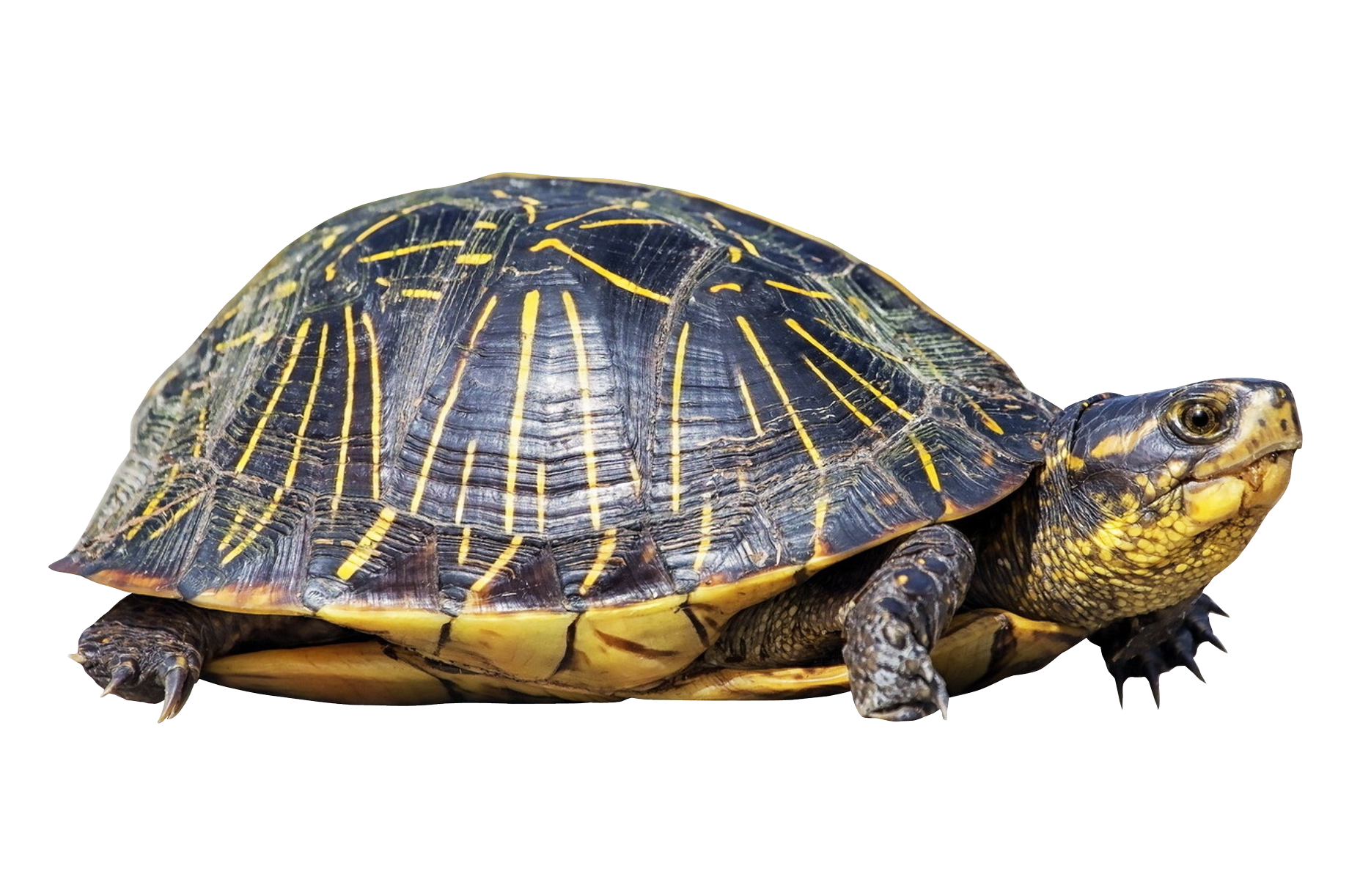 turtle-PNG38 (1) 2.PNG