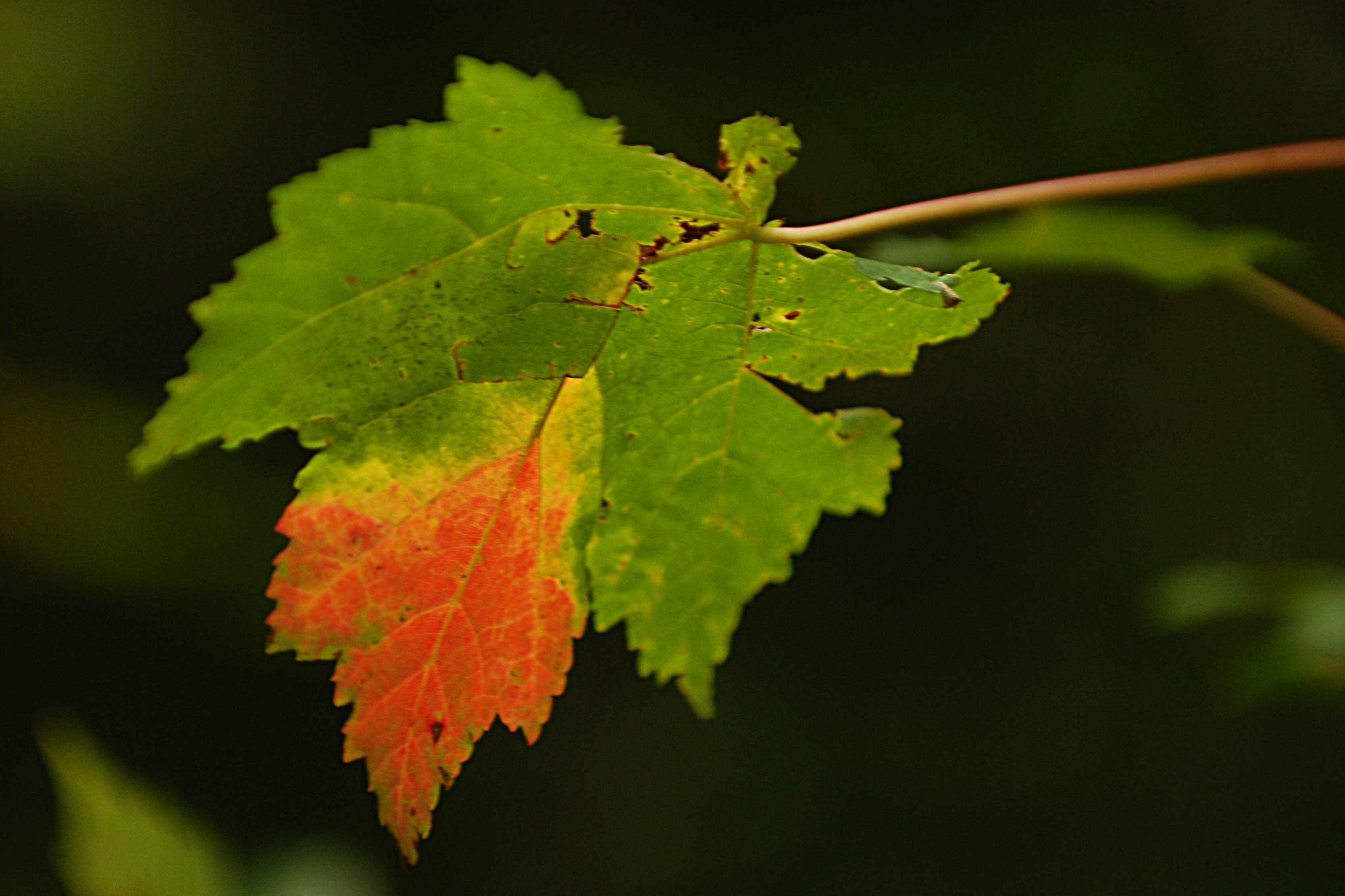 leaf on a limb