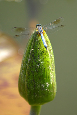flypod
