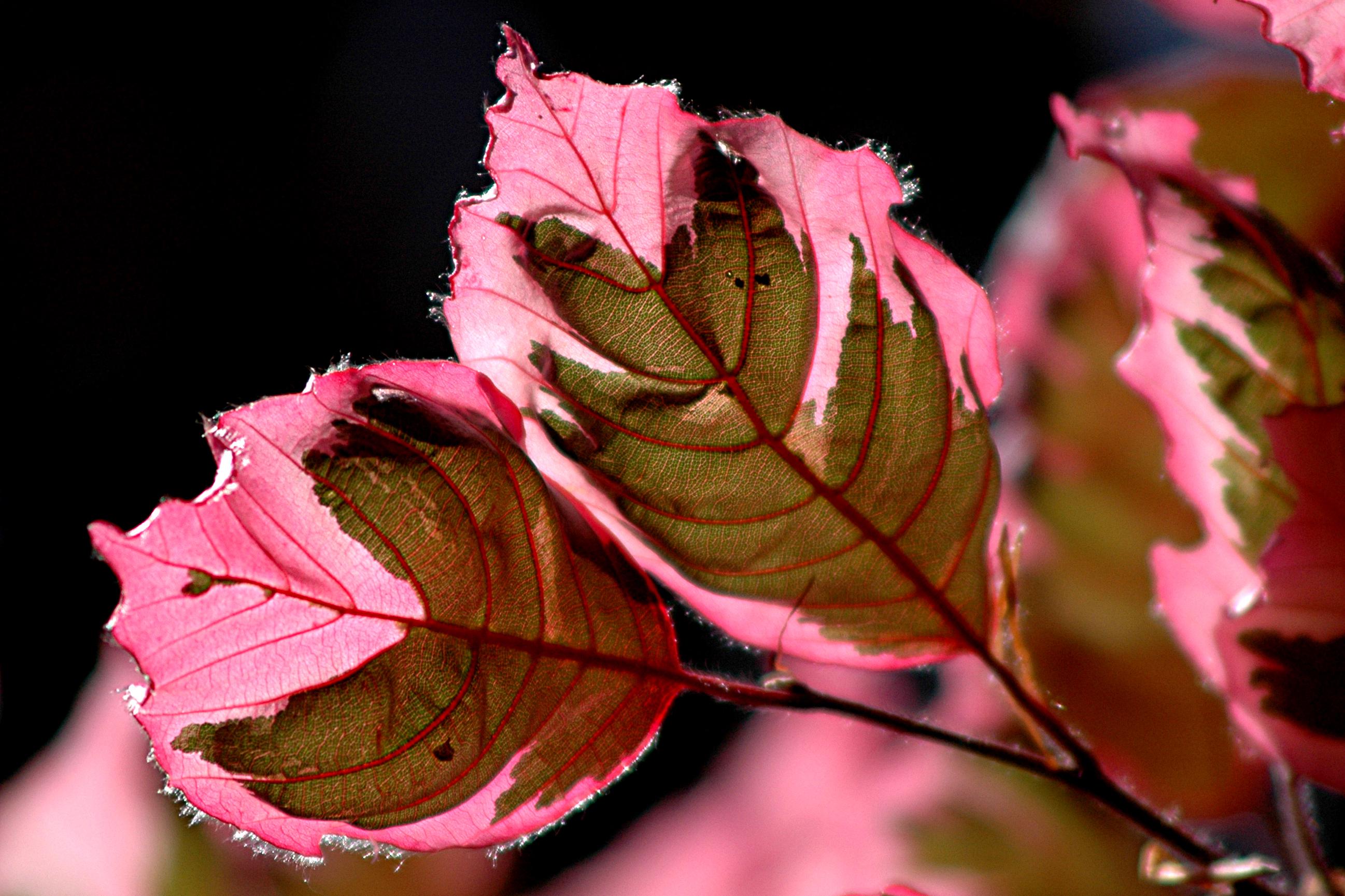 pinkleaves