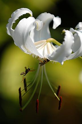 lilybees