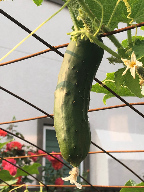 Cucumber on the vine.jpg