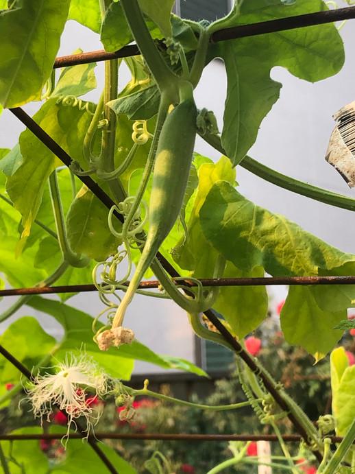 Snake Gourd.jpg