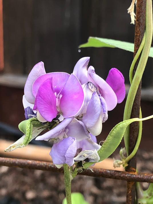 Hyacinth Bean Flower.jpg