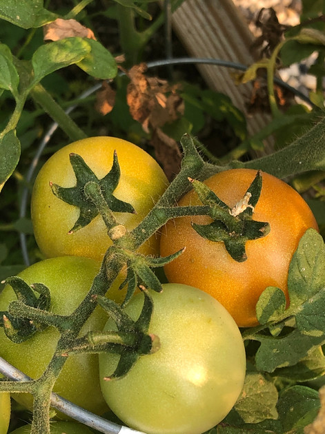 Tomatoes on the vine.jpg