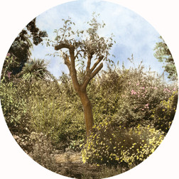 Pruned Tree, 2018, Sepia toned and hand-coloured silver gelatin print