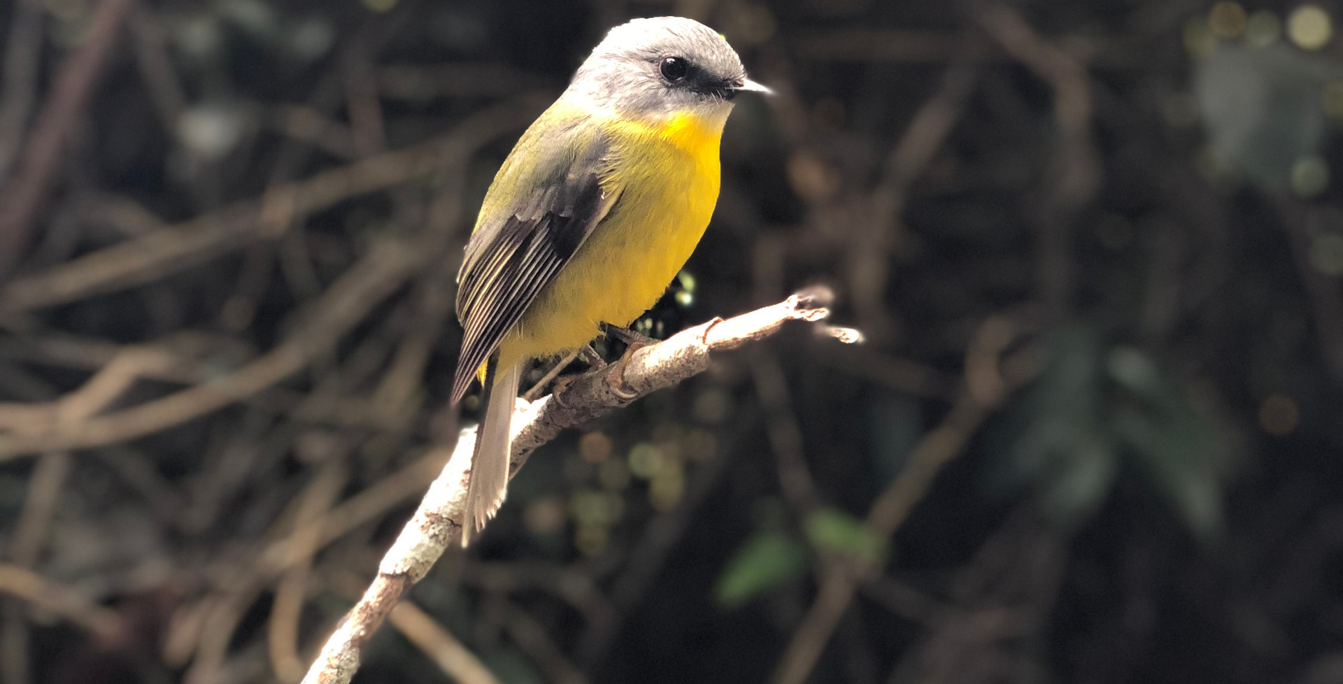 Bird in Tamborine Mountains