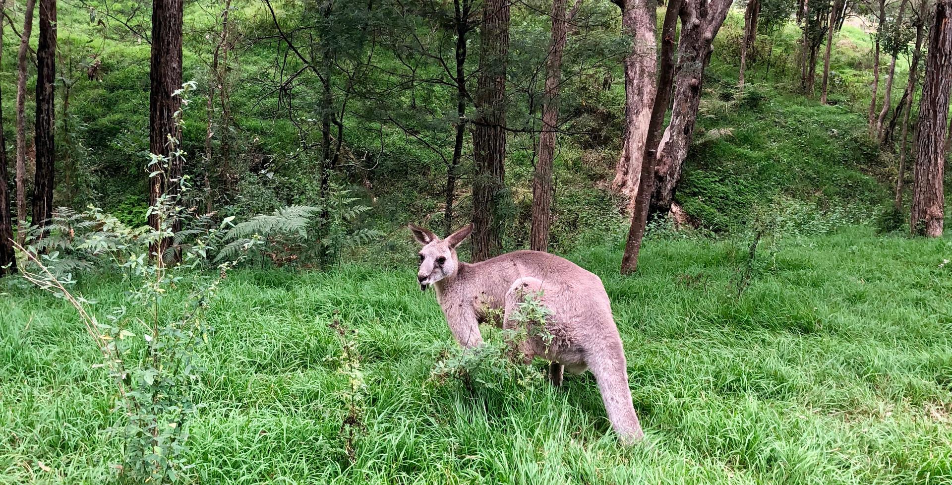 Wild Kangaroo in Blue Mountains