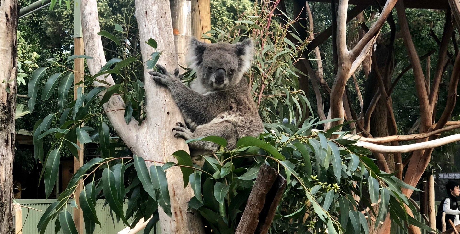 Koala in Featherdale Sanctuary