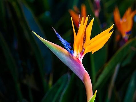 bird-of-paradise-flower.jpg
