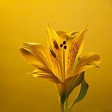 gold-lily.jpg