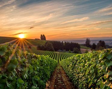 Sun rising over a vineyard in Willamette