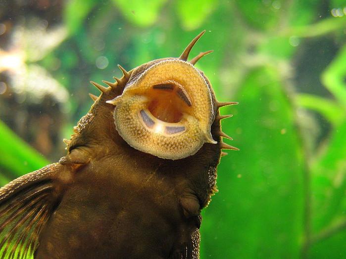 O peixe cascudo