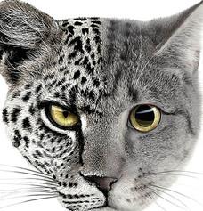 AUDI CATS