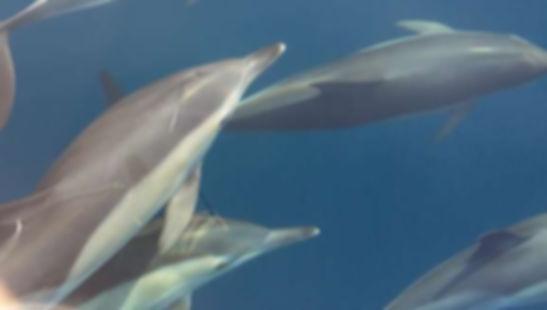 Delfines acompañándonos durante la travesía a Jávea