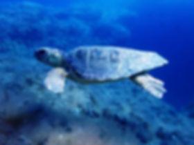Tortuga marina al hacer snorkel en Columbretes desde nuestro barco velero