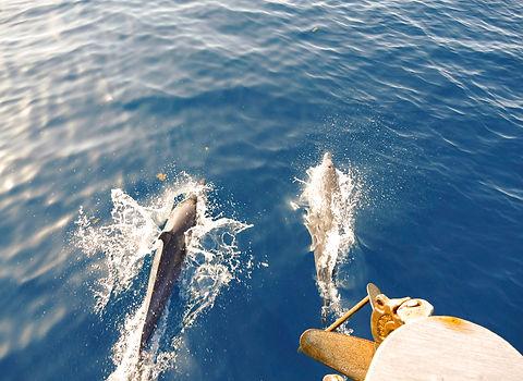 Delfines en el Archipiélago de San Blas, Panamá