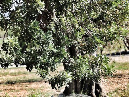 Die Kraft des Johannisbrotbaumes