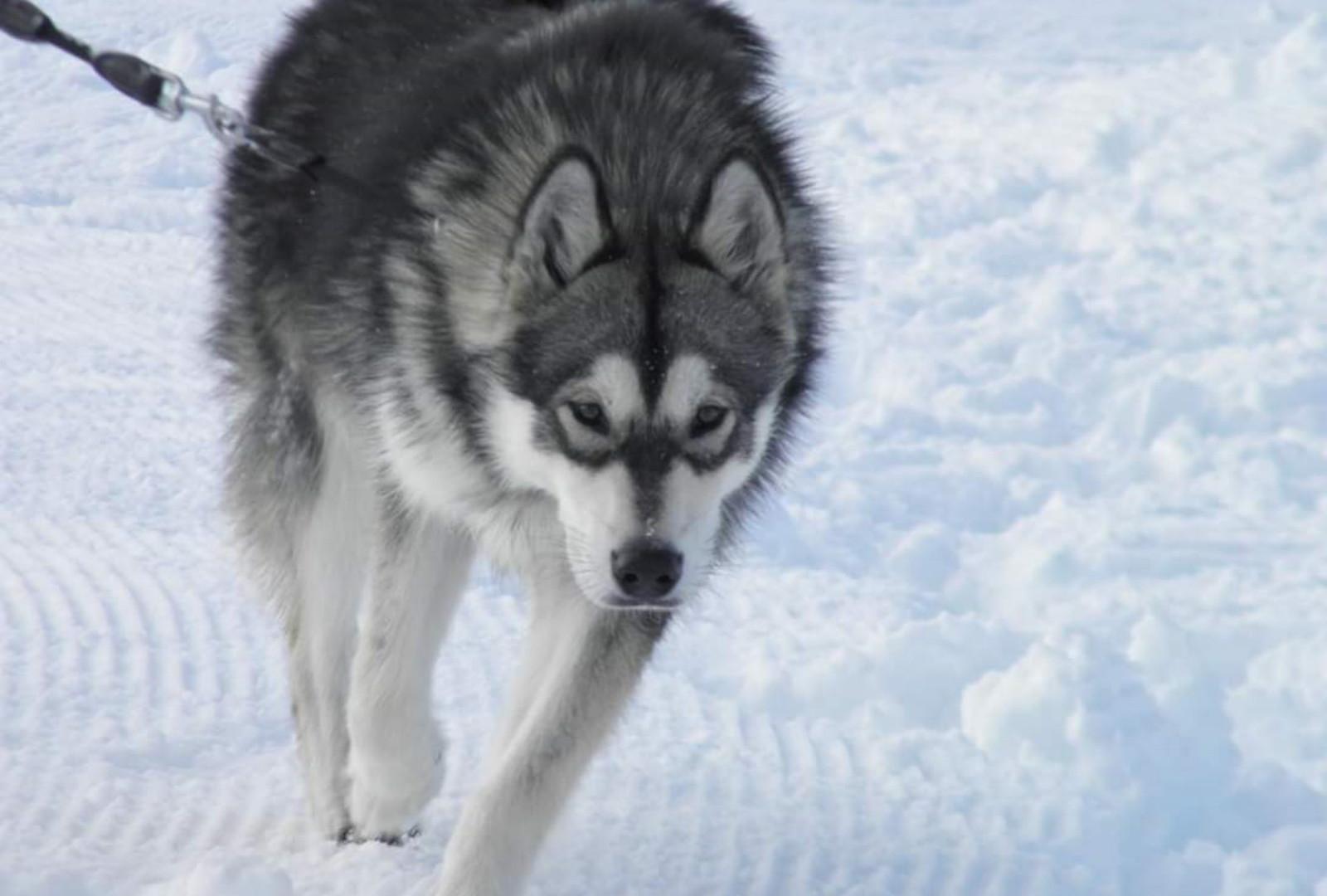 max_chien_husky_de_sibéry.jpg