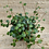 Thumbnail: Peperomia pepperspot 4in