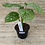 Thumbnail: Philodendron Swiss cheese 4in