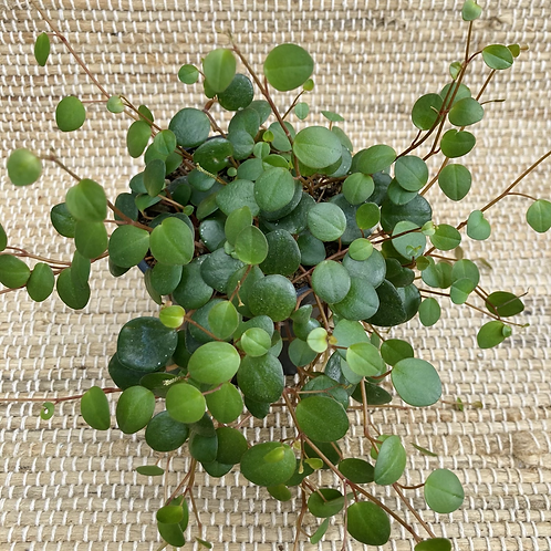 Peperomia pepperspot 4in