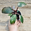 Thumbnail: Pink princess philodendron 4in