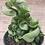 Thumbnail: Hoya Compacta 4in