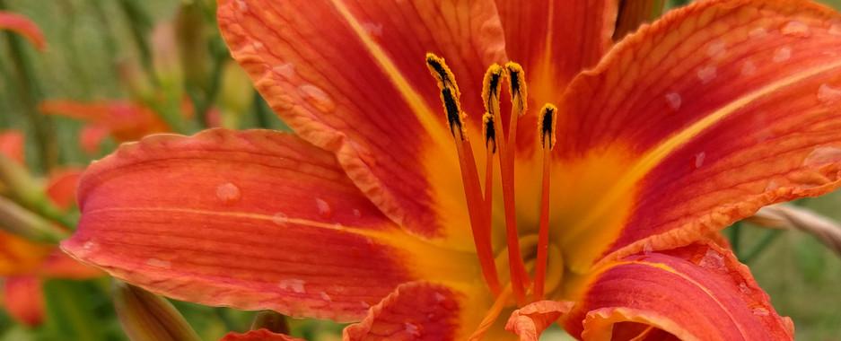 daylillies.jpg