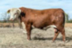 herd bull 6187.jpg