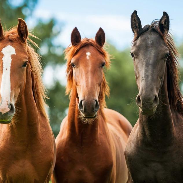 Horse-3-chestnut.jpg